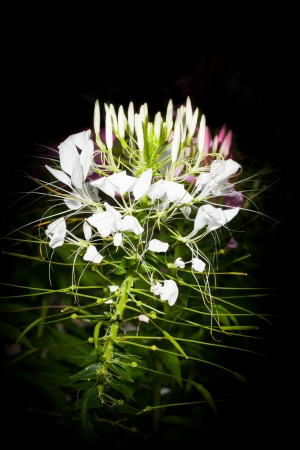 White Spider flower for background use photo