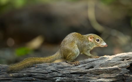 Common treeshrew or Southern treeshrew  Tupaia glis  in forest of Thailand Stock Photo