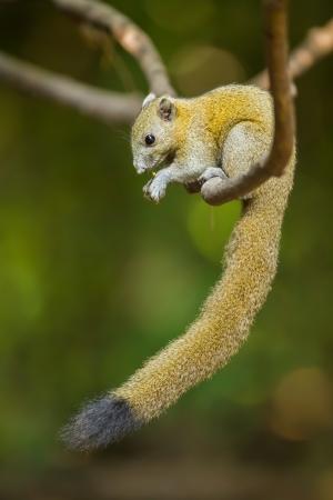 Gray-Bellied Squirrel  Callosciurus caniceps  Gray, 1842   in nature of Thailand