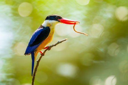 coraciiformes: Black-capped pileata Kingfisher Halcyon con worm nel suo monte