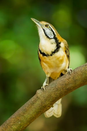 pectoralis: Greater Necklaced Laughingthrush  Garrulax pectoralis  on the branch in nature