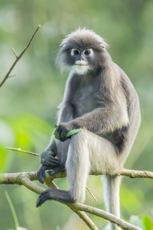 dusky: Dusky leaf monkey Trachypithec us obscurus  stair at us in Kengkrajarn Nartionnal Park of Thailand
