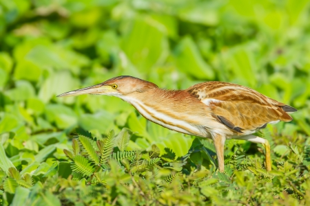 bittern: Yellow Bittern Ixobrychus sinensis  walk for killing in nature of Thailand