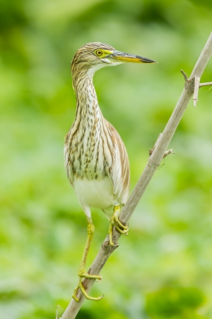 bacchus: Chinese Pond Heron  Ardeola bacchus  act on bamboo in nature