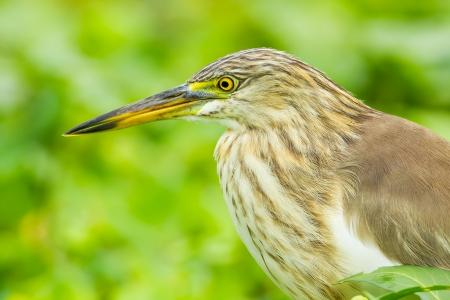 bacchus: Close up portrait of Chinese Pond Heron  Ardeola bacchus  Stock Photo