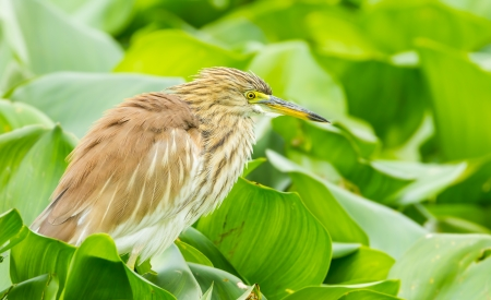 bacchus: Chinese Pond Heron  Ardeola bacchus  swell her feather in nature Stock Photo
