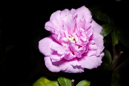 rosemallow:  Dixie rosemallow Hibiscus mutabilis L  with black background