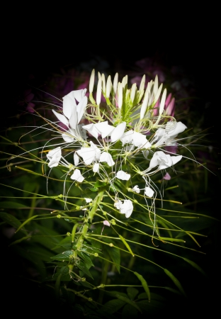 White Spider Cleome hassleriana  flower for background use photo