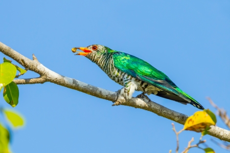 maculatus: Male Asian Emerald Cuckoo  Chrysococcyx maculatus  throw the worm in the air Stock Photo