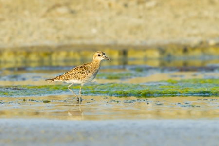 Pacific Golden Plover Pluvialis fulva  in nature of Thailand Stock Photo