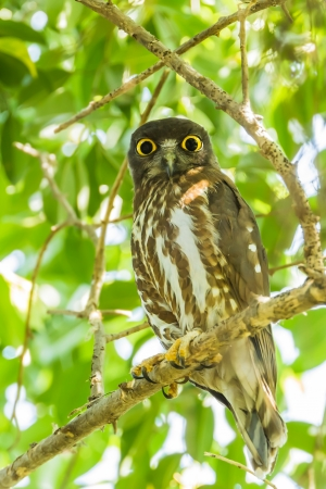 Northern Boobook Ninox japonica  stair at us in nature