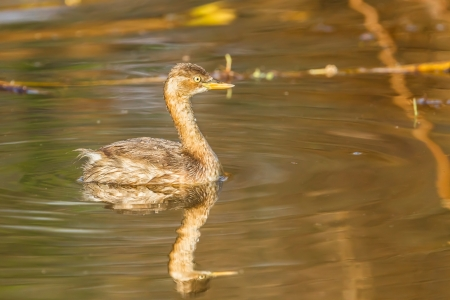 Side portrait of Young Little Grebe  Tachybaptus ruficollis  with her shadow