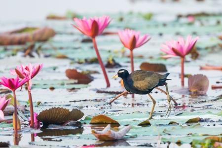 jacana: Bronze-winged Jacana Metopidius indicus finding food with waterlily flower