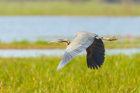 purpurea: Purple heron Ardea purpurea  is flying in nature