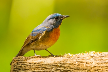 Chinese Blue Flycatcher on the wood photo