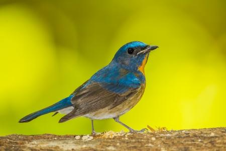 Chinese Blue Flycatcher bird photo