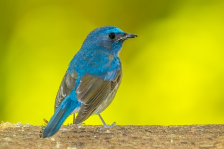 Deep blue Chinese Blue Flycatcher bird photo