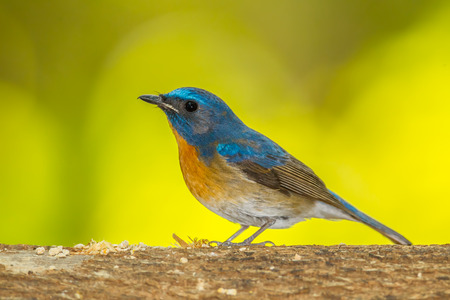 yello: Deep blue of Chinese Blue Flycatcher in nature Stock Photo