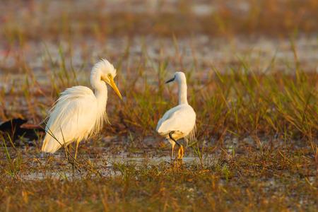 intermediate: Intermediate Egret walking with morning light