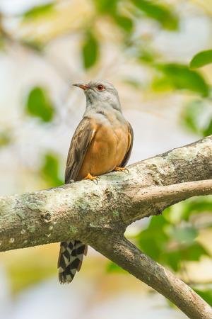 plaintive: Male Plaintive Cuckoo Cacomantis merulinus