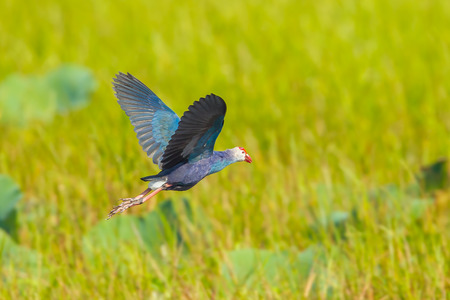 purple swamphen: Purple Swamphen is flying in nature