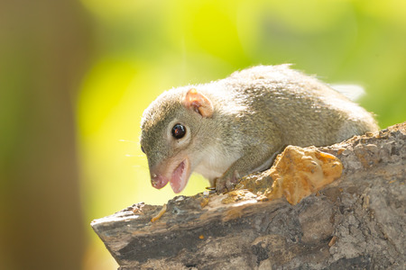 Common treeshrew (Tupaia glis )show her teeth in nature