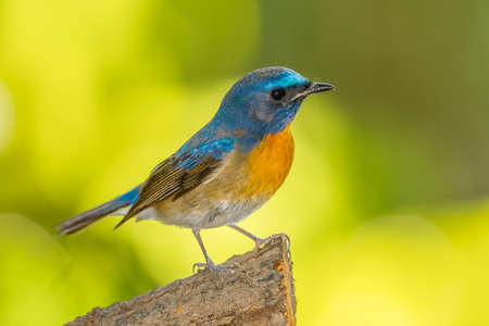 Deep blue of Chinese Blue Flycatcher (Cyornis glaucicomans) on the wood in nature  photo