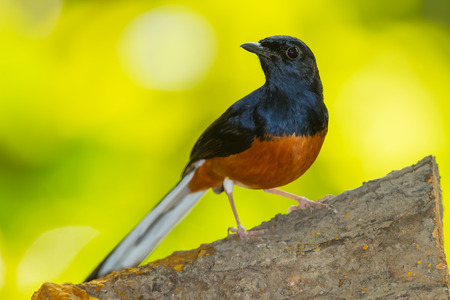 Male White-Rumped Shama (Copsychus malabaricus) in nature photo
