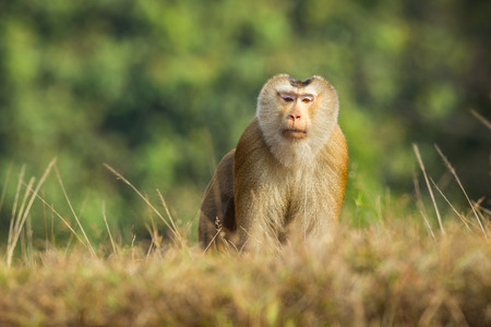 Northern Pig-tailed Macaque Macaca leonina  in Khaoyai national park,Thailand photo