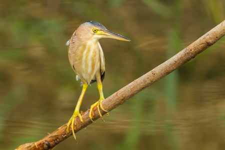 bittern: Yellow Bittern (Ixobrychus sinensis) in nature of Thailand  Stock Photo