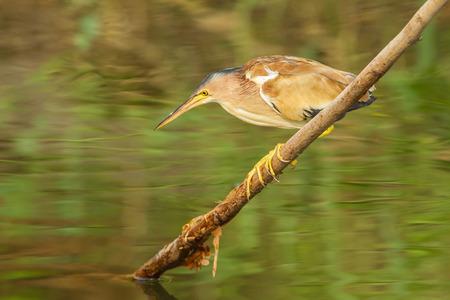 bittern: Yellow Bittern (Ixobrychus sinensis) looking for prey in nature