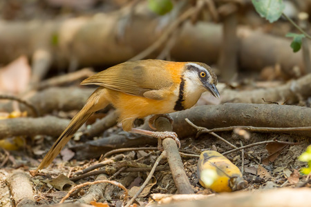 pectoralis: Greater Necklaced Laughingthrush  Garrulax pectoralis  come down for banana Stock Photo