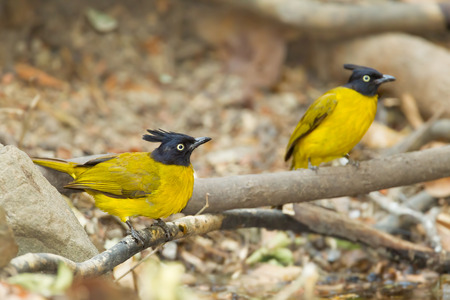 Black-crested Bulbul bird and his friend in nature photo