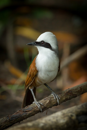 white crested laughingthrush: Close up portrait of  White-crested Laughingthrush  Garrulax leucolophus