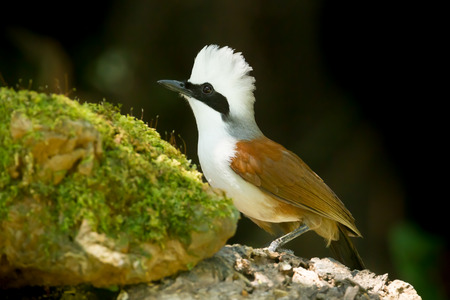 white crested laughingthrush: White-crested Laughingthrush  Garrulax leucolophus  spread her white head feather
