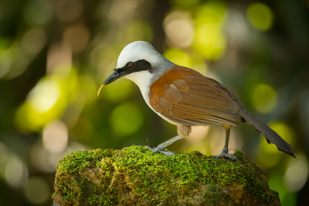 white crested laughingthrush: White-crested Laughingthrush  Garrulax leucolophus  with worm in her mount Stock Photo