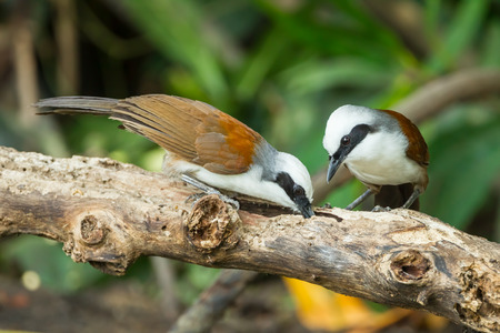 white crested laughingthrush: Couple of White-crested Laughingthrush  Garrulax leucolophus  finding out worm in nature Stock Photo