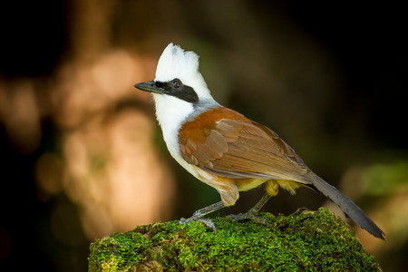 white crested laughingthrush: White-crested Laughingthrush  Garrulax leucolophus  act in nature Stock Photo