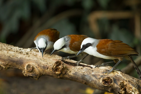 white crested laughingthrush:  Group of White-crested Laughingthrush  Garrulax leucolophus   in nature Stock Photo