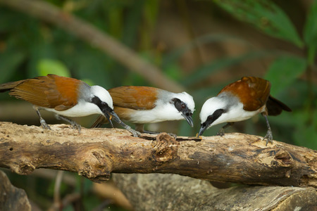 finding out:  Group of White-crested Laughingthrush  Garrulax leucolophus  finding out for food