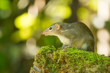 Common treeshrew Tupaia glis  in nature