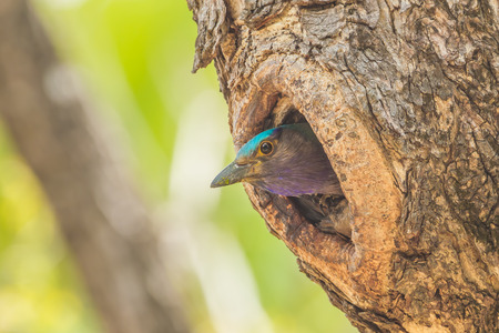 Indian roller Coracias benghalensis  coming out from her house photo