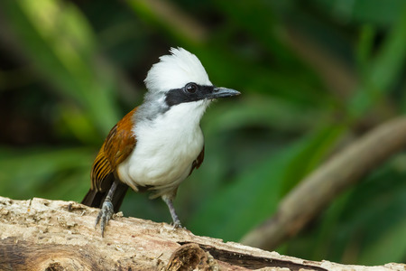 laughingthrush: White-crested Laughingthrush  Garrulax leucolophus  on the wood in nature