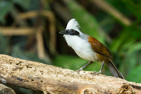 white crested laughingthrush: White-crested Laughingthrush  Garrulax leucolophus  in nature of Thailand