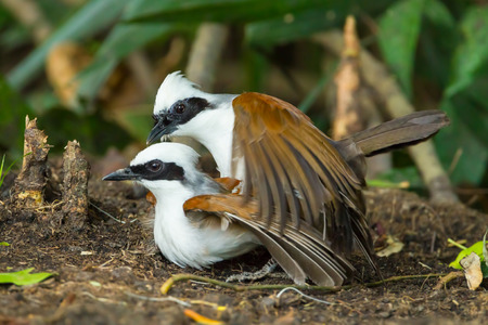 white crested laughingthrush: White-crested Laughingthrush  Garrulax leucolophus  are making love in nature 18