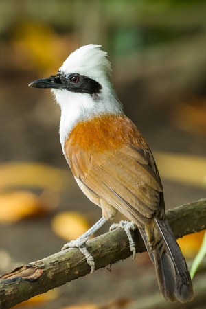 laughingthrush: Portrait of White-crested Laughingthrush  Garrulax leucolophus  in nature