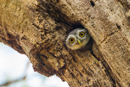 Young Spotted owlet  Athene brama  come out to see us in nature Stock Photo
