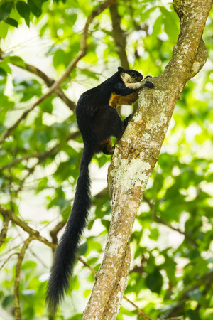 Black giant squirrel Ratufa bicolor on the tree in nature at K Y, National park, Thailand