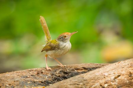 Common Tailorbird  Orthotomus atrogularis  act on the wood in nature