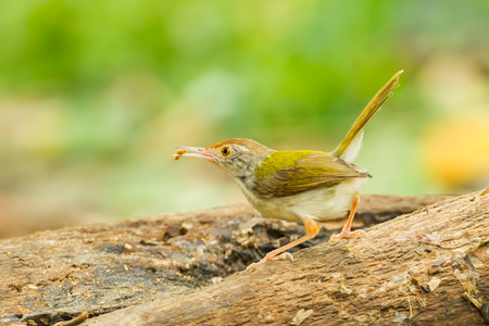Common Tailorbird  Orthotomus atrogularis  with worm in her mount in nature